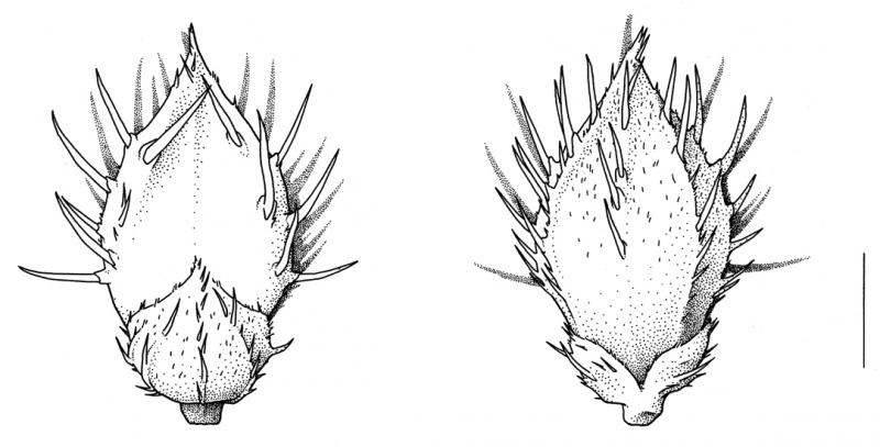 Echinochloa muricata, spikelet unawned, bristles spreading- Drawing S.Bellanger