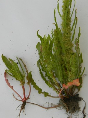 Rumex fueginus, Zeebrugge, port area, sand raised site, August 2011, P. Van Vooren